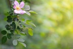 开花的分支狂放在与空间的美好的晴朗的背景上升了文本的 有选择性的软的焦点 免版税库存照片