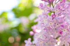 开花的分行丁香 库存照片