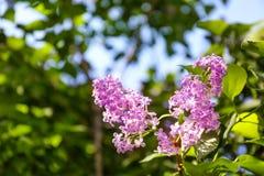 开花的分行丁香 库存图片