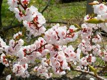 开花的分行樱桃日本 图库摄影