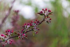 开花的分行樱桃 特写镜头 图库摄影