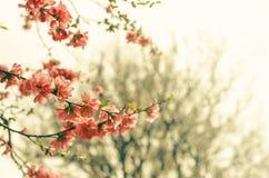 开花的分行结构树 免版税图库摄影