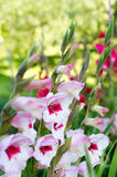 开花的剑兰花在庭院里 免版税图库摄影