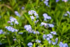 开花的勿忘我草或勿忘草的特写镜头开花 库存图片