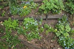 开花的勿忘草在药草园-种田庭院在春天 库存照片