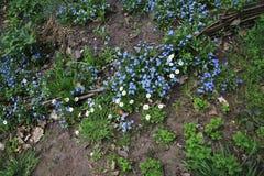 开花的勿忘草在药草园-种田庭院在春天 库存图片