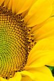 开花的半向日葵 库存照片