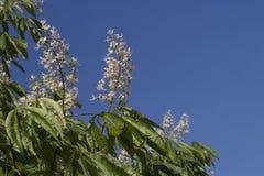 开花的印地安欧洲七叶树树 免版税库存图片