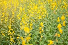 开花的印度大麻花田, Sunn改进的土壤大麻植物软的焦点  库存照片
