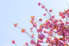 开花的双重樱花树和蓝天 免版税库存图片