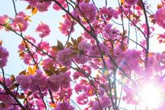 开花的双重樱花树和阳光 免版税库存图片