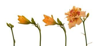开花的双重黄花菜 库存照片