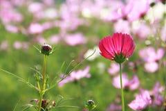 开花的发芽的波斯菊 库存图片
