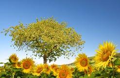 开花的向日葵和樱桃树 库存图片