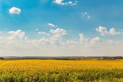 开花的向日葵在一个明亮的多云夏日调遣 农业横向 库存图片