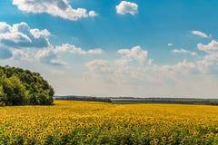 开花的向日葵在一个明亮的多云夏日调遣 农业简单的风景 免版税库存照片