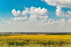 开花的向日葵在一个明亮的晴朗的夏日调遣 免版税库存照片