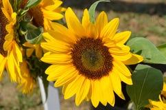 开花的向日葵在一个温暖的晴朗的夏日 免版税图库摄影