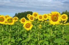 开花的向日葵在一个晴朗的夏日 免版税库存图片
