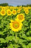 开花的向日葵在一个晴朗的夏日 库存图片