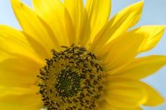 开花的向日葵在夏天 库存图片