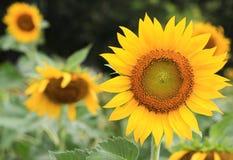 开花的向日葵在庭院里 库存图片