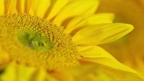 开花的向日葵特写镜头时间间隔 影视素材