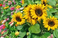 开花的向日葵特写镜头  库存图片
