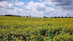 开花的向日葵的寄生虫录影领域 影视素材