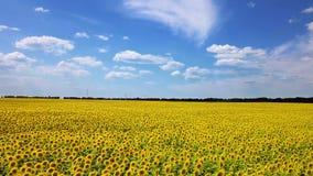 开花的向日葵的寄生虫录影领域 股票录像
