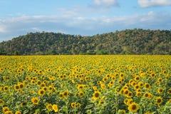 开花的向日葵的领域在背景山的 免版税图库摄影