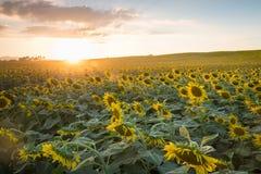 开花的向日葵的领域在背景日落的与阳光 库存照片
