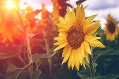 开花的向日葵的领域在阳光的 背景蓝色云彩调遣草绿色本质天空空白小束 夏天横向 免版税库存图片