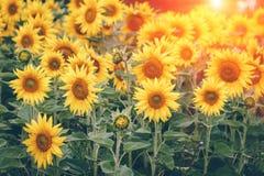 开花的向日葵的领域在阳光的 背景蓝色云彩调遣草绿色本质天空空白小束 夏天横向 免版税图库摄影