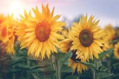 开花的向日葵的领域在阳光的 背景蓝色云彩调遣草绿色本质天空空白小束 夏天横向 免版税库存照片