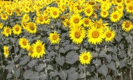 开花的向日葵的领域 免版税库存图片