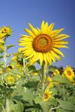 开花的向日葵的领域 库存图片