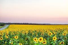 开花的向日葵的黄色领域在晚上黄昏的散开的光的 库存照片