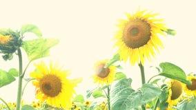 开花的向日葵调遣与太阳明亮的背后照明的明亮的晴朗的夏日 农业花背景
