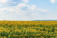开花的向日葵领域在一个夏日 免版税库存图片