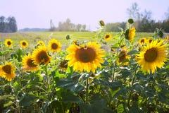 开花的向日葵领域美好的风景  免版税库存图片