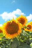 开花的向日葵 免版税图库摄影