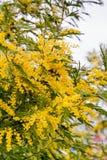 开花的含羞草 免版税库存图片