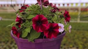 开花的喇叭花关闭,在罐的喇叭花,在罐关闭的桃红色开花的喇叭花  影视素材