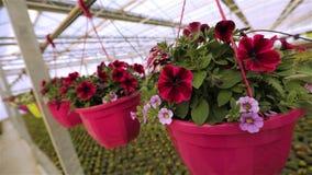 开花的喇叭花关闭,在罐的喇叭花,在罐关闭的桃红色开花的喇叭花  股票录像