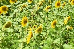 开花的域向日葵 在领域的开花的向日葵 向日葵领域在一个晴天 免版税库存图片