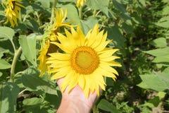 开花的域向日葵 在领域的开花的向日葵 向日葵领域在一个晴天 库存照片