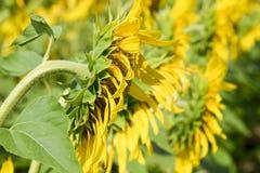 开花的域向日葵 在领域的开花的向日葵 向日葵领域在一个晴天 免版税库存照片