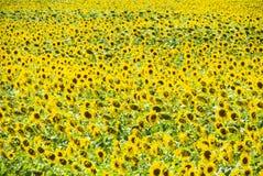 开花的域向日葵 在领域的开花的向日葵 向日葵领域在一个晴天 库存图片