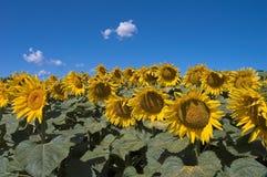 开花的域向日葵 免版税库存照片